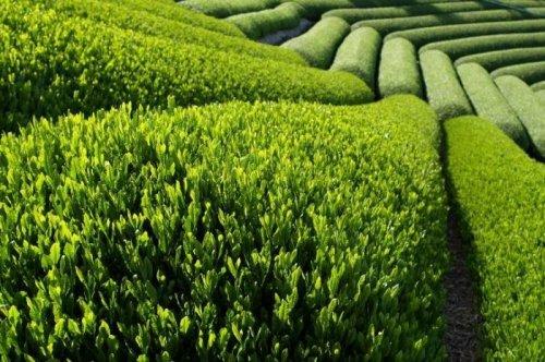 Зелёный чай при похудении