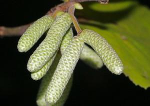 Семя лещины