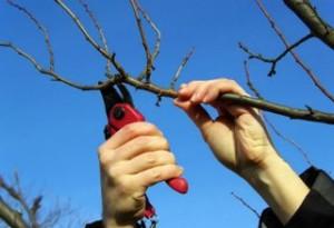 Какие виды обрезки применяют у плодовых деревьев?