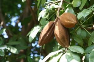 Шоколадное дерево